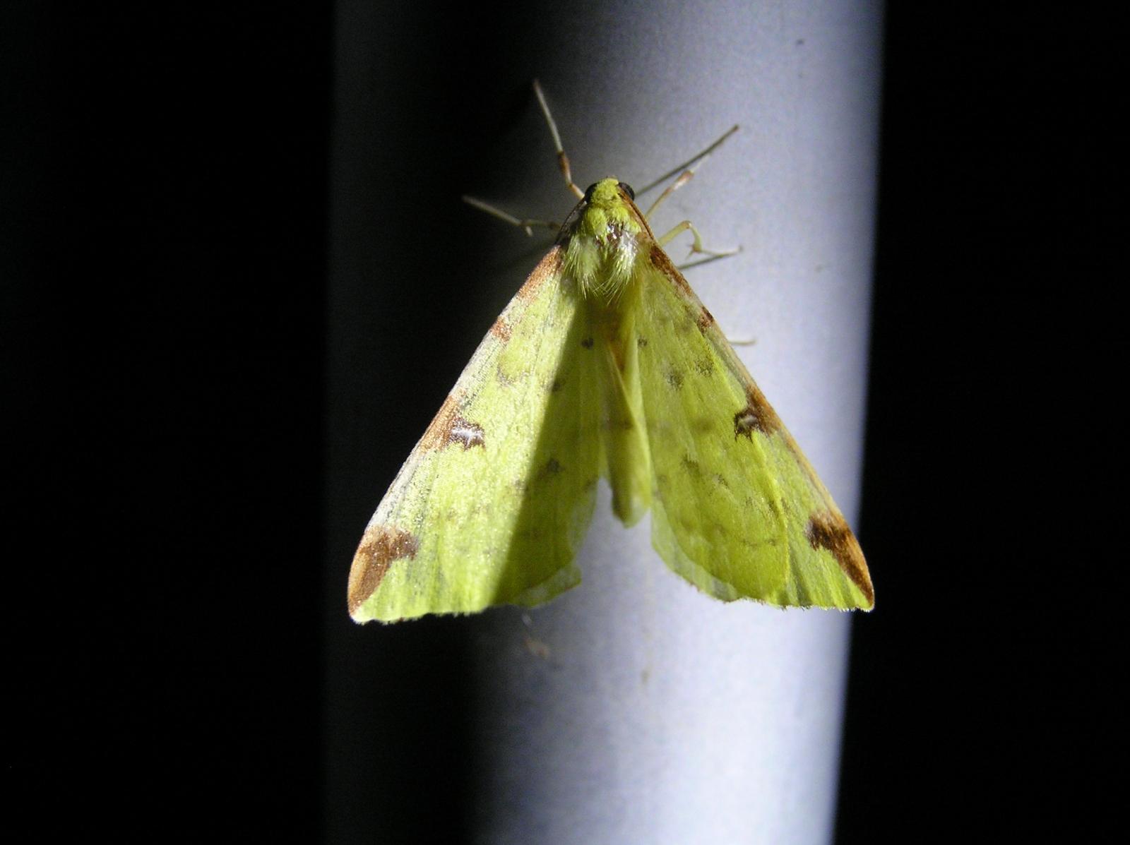 05_Nachtvlinder