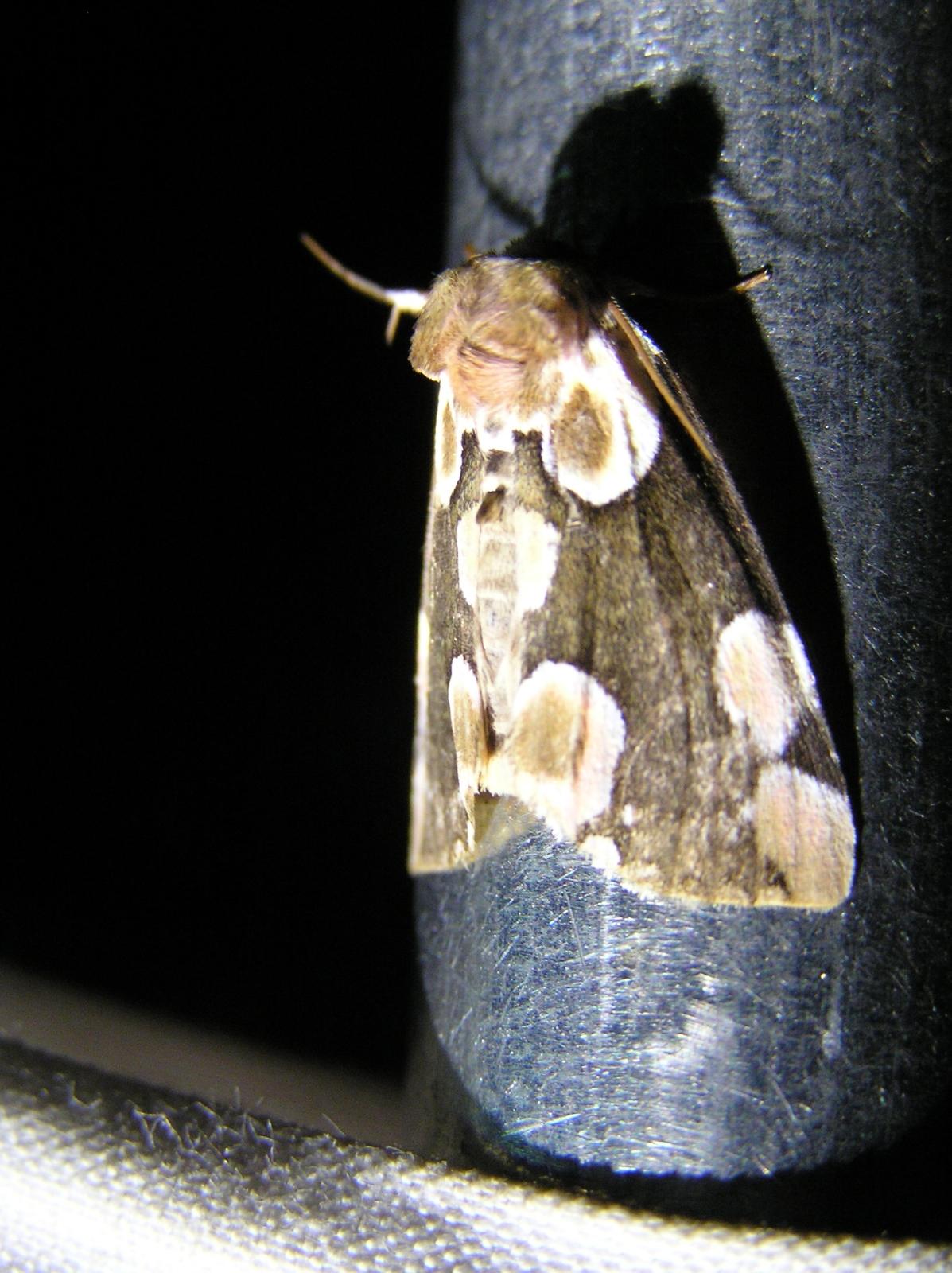 09_Nachtvlinder