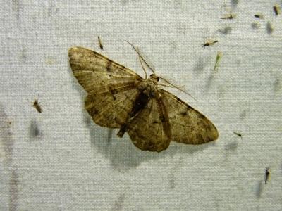 08_Nachtvlinder