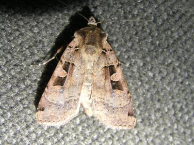 19_Nachtvlinder