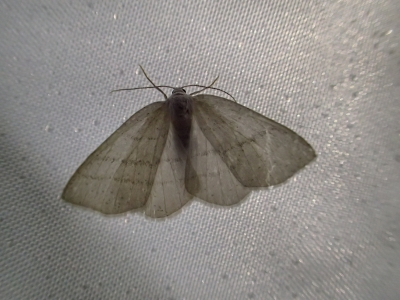 033_Nachtvlinder
